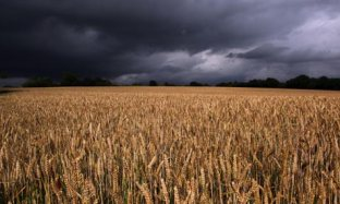Field-of-wheat-007